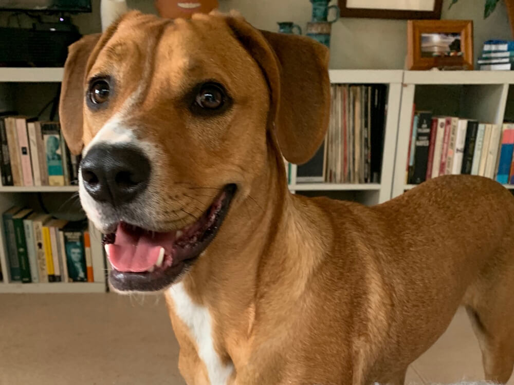 Isolation animals: How Albie the naughty pup is helping this Auckland couple get through coronavirus lockdown